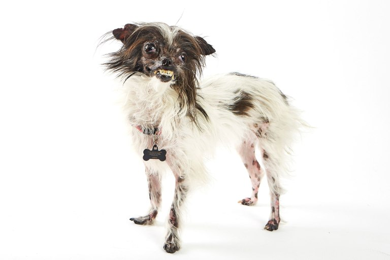 Peanut. The World's Ugliest Dog Competition