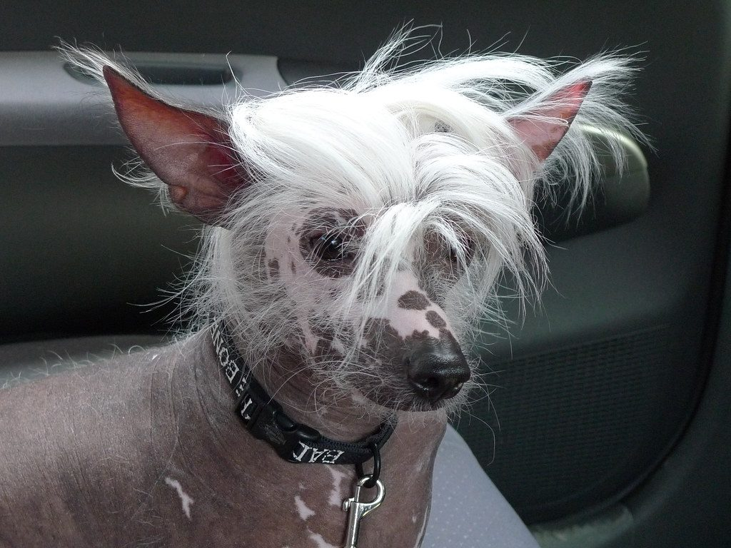 What dogs don't shed hair!  (11 Hypoallergenic Breeds) |
