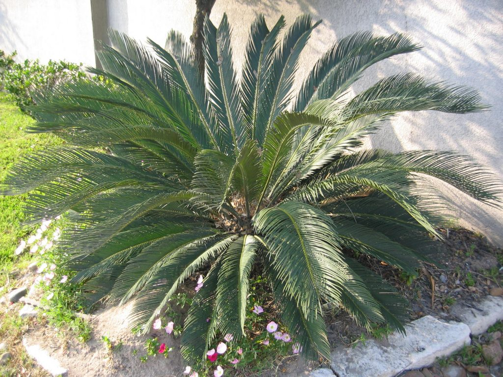 Sago Palm - Poisonous Plant for pets