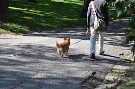 How to train a dog to walk without a leash?