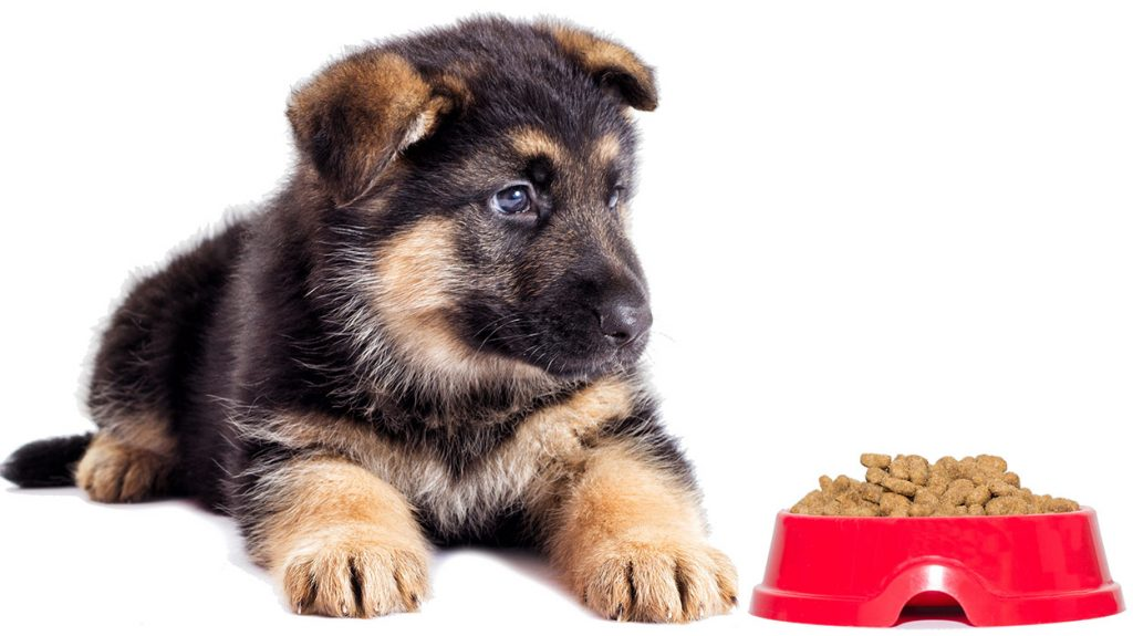 GSD puppy with a bowl of food. German shepherd puppies