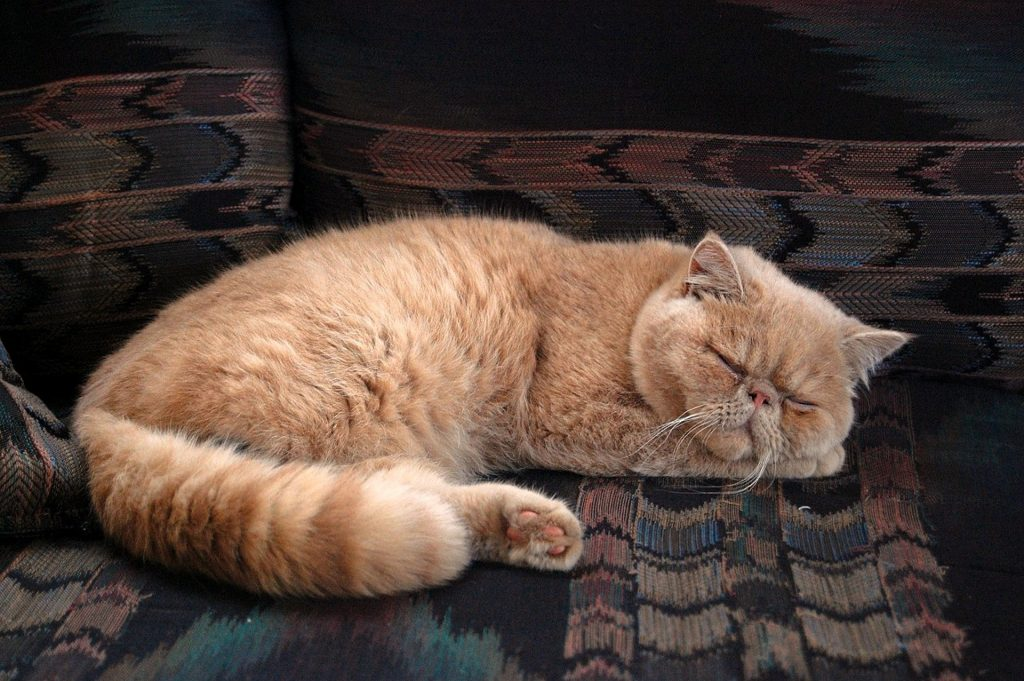 Fluffy, Stocky, or Short-Haired: Learn About the Most Popular Orange Cat Breeds |