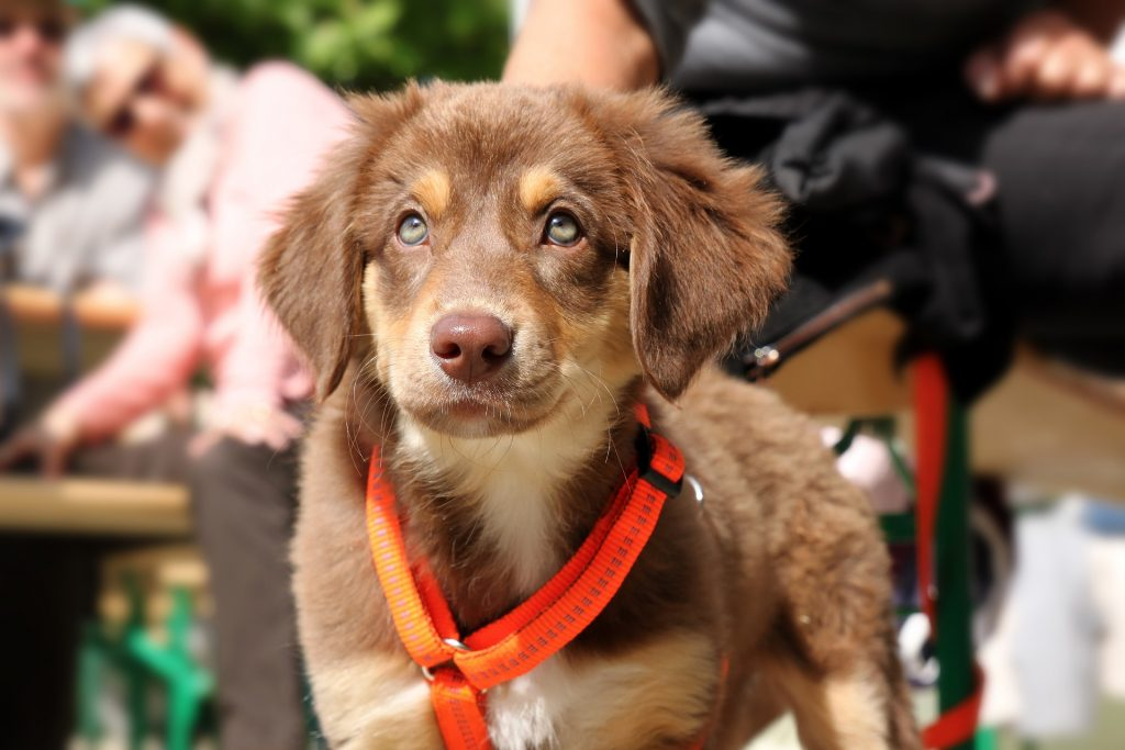 a leashed puppy-How to Train a Puppy to Walk on a Leash