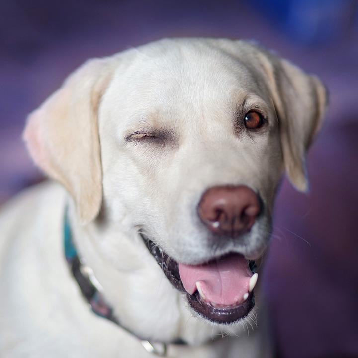 smiling Labrador. Labrador Puppy Training