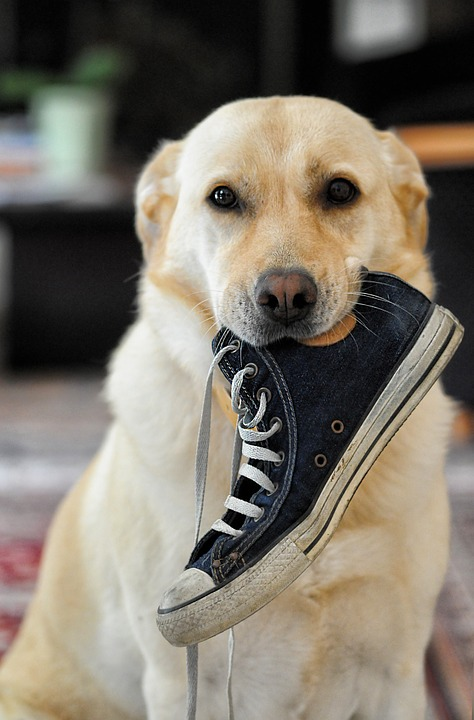 white lab with shoe in his mouth. Labrador Puppy Training