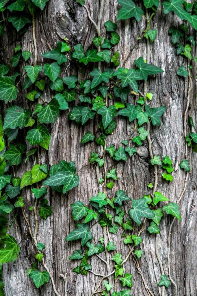 Ivy - Plants poisonous for pets
