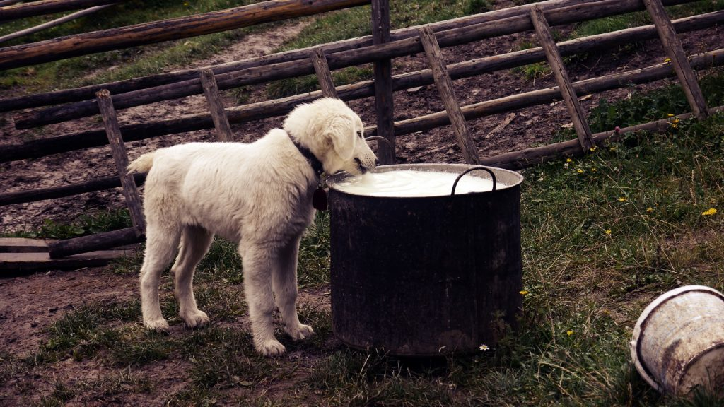 a dog looking in a pan-Homemade dog food recipes