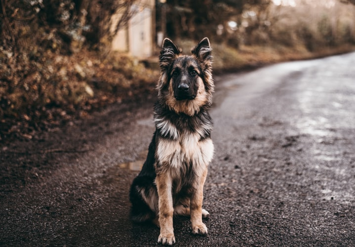 GSD standing in the middle of the road. shepherd puppies