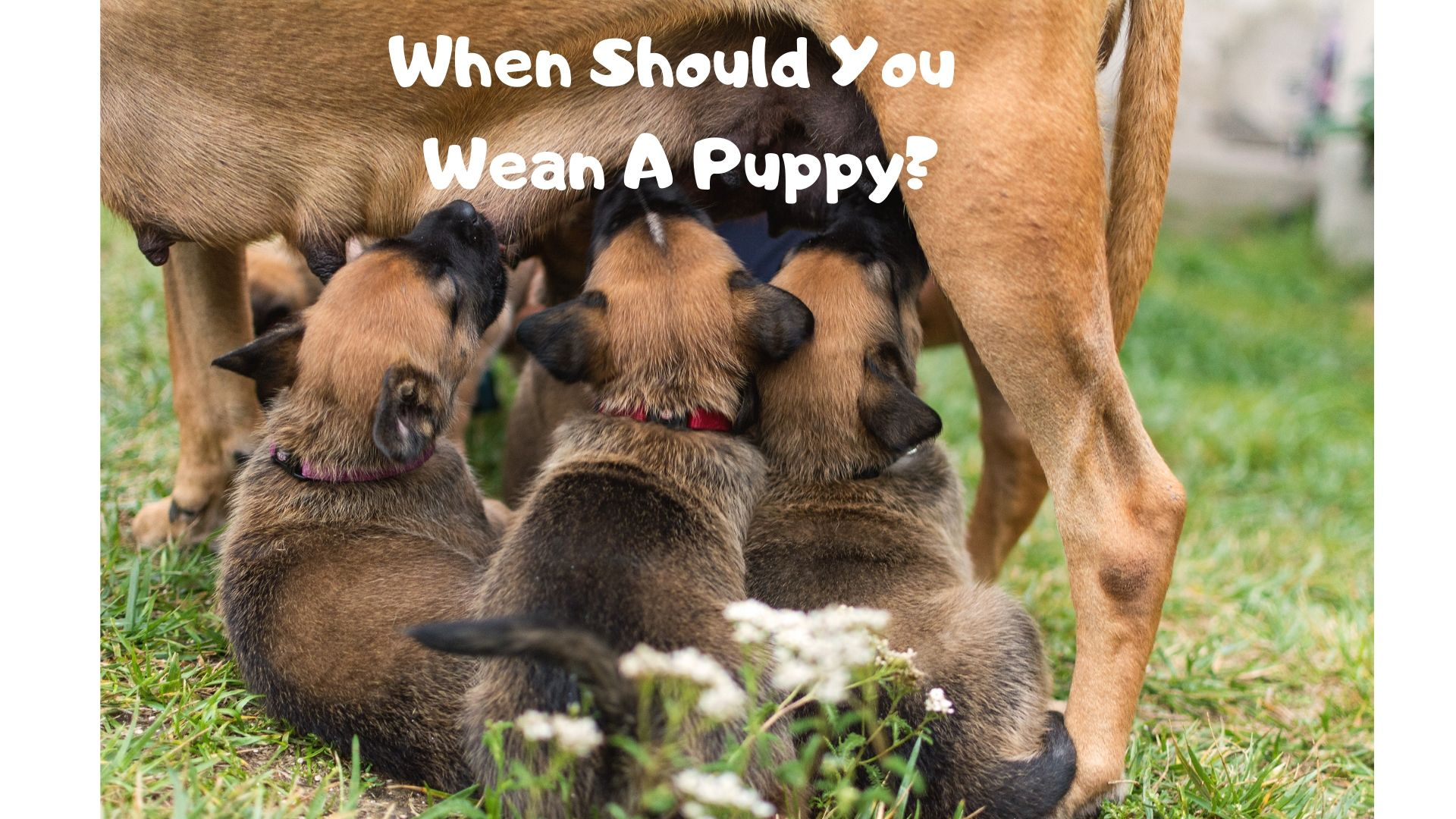 When Should You Wean A Puppy?