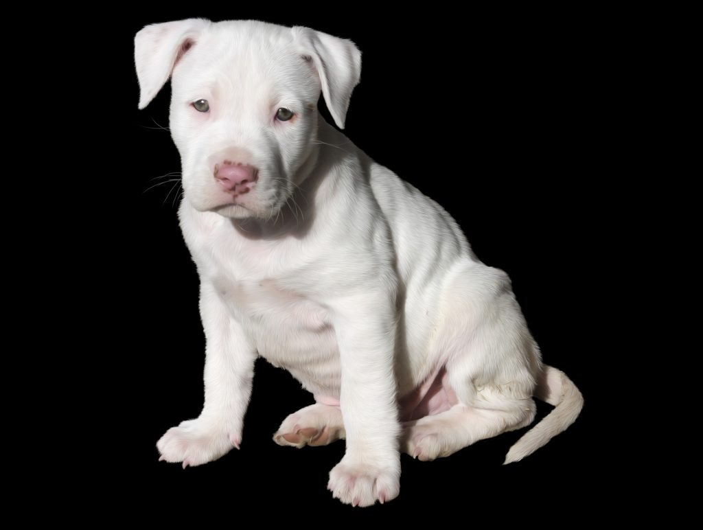 a white pitbull puppy-Constipated Dog?