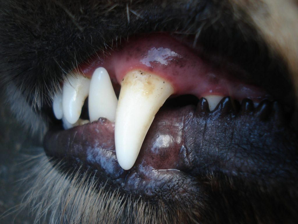 dog's teeth-Can Adult Dogs Regrow Teeth