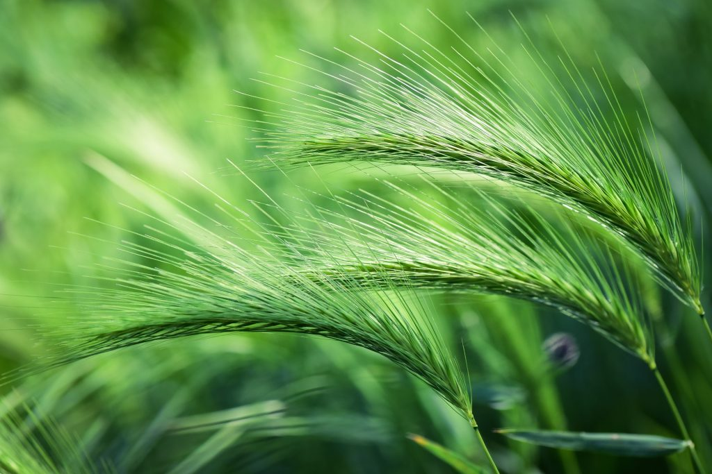 green foxtails- why do dogs sneeze