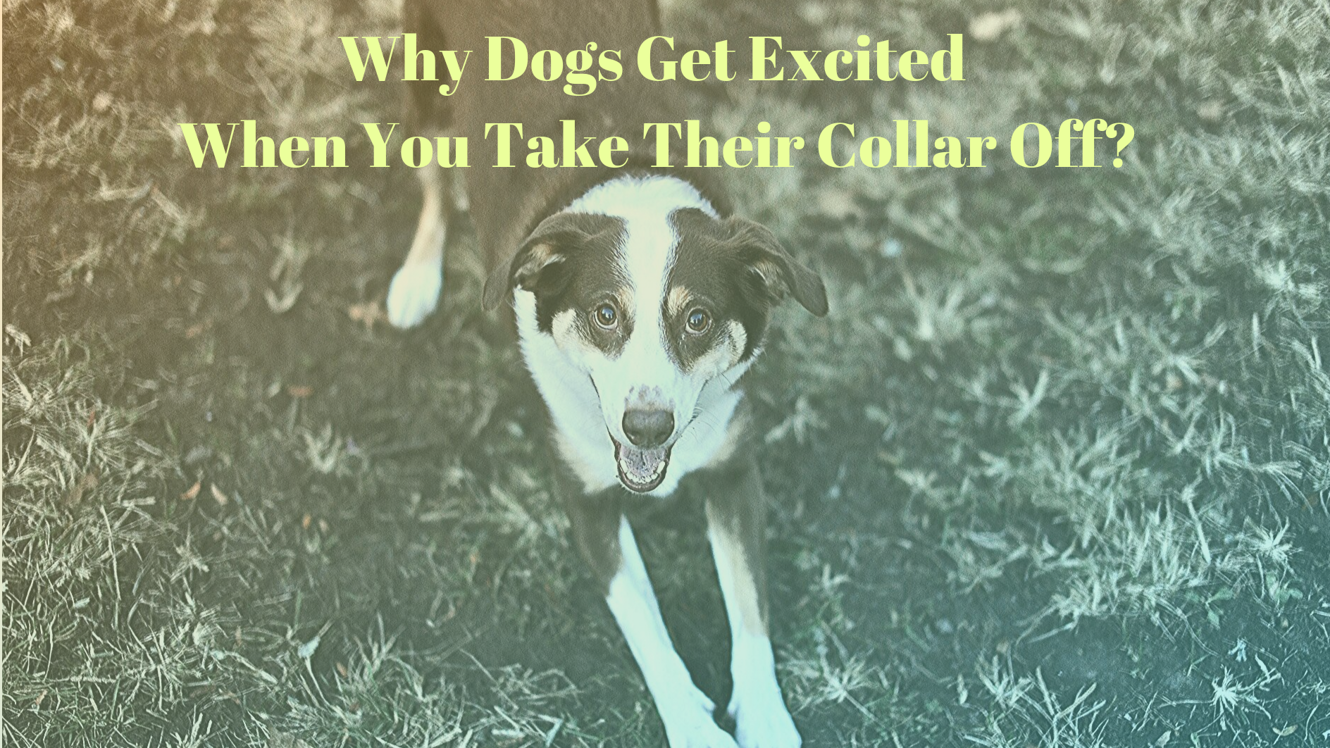 Why Dogs Get Excited When You Take Their Collar Off​? |