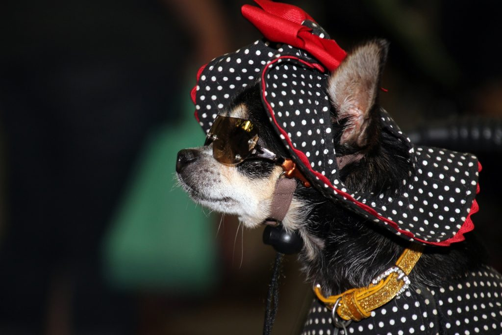 dog dress up and wearing a sunglasses
