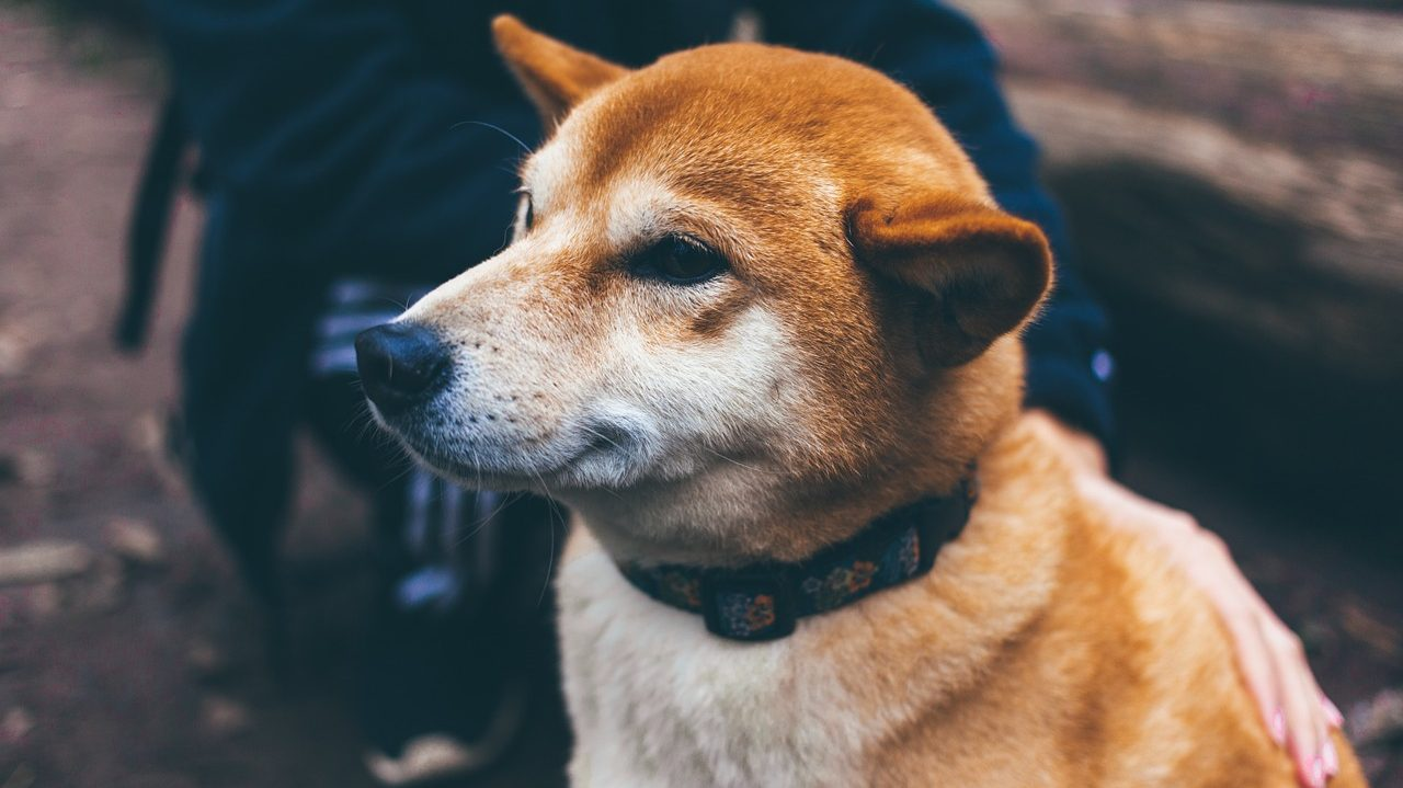 Do Collars Bother Dogs? |