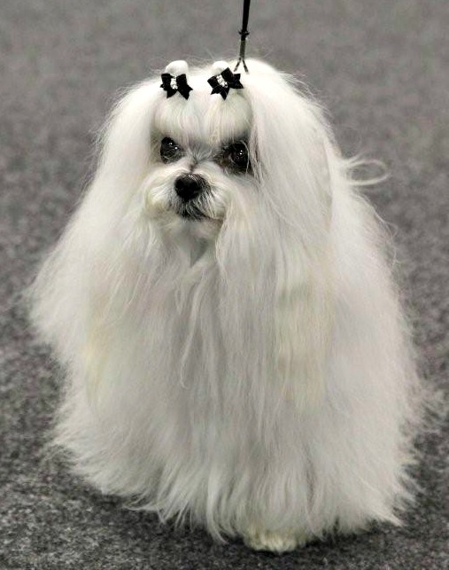Why You Should Watch The Thanksgiving Dog Show Instead of Football- A cute, white, long-haired dog