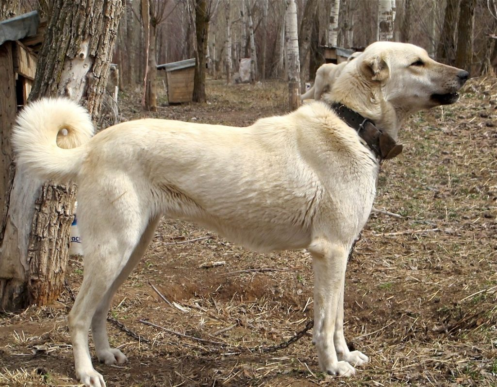 Which big dog can kill a wolf- The Kangal dog