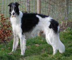 Which big dog can kill a wolf- The Borzoi