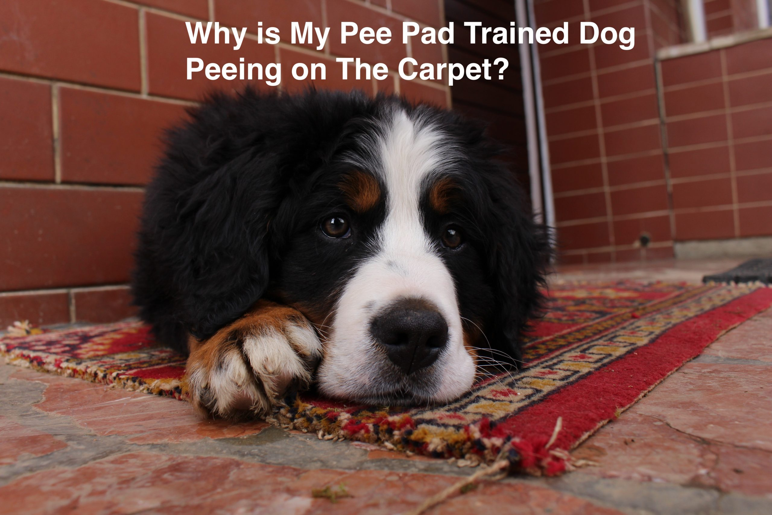 Why is My Pee Pad Trained Dog Peeing on The Carpet?