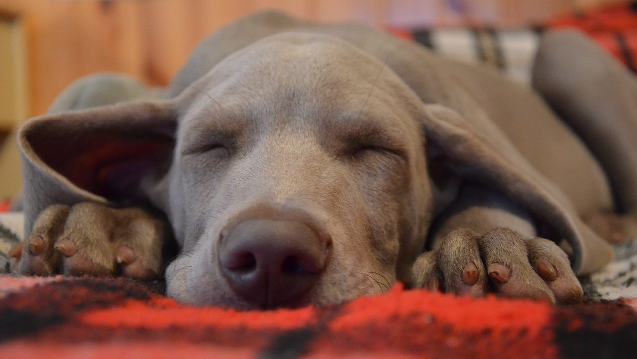 What to Expect When You Put Your Dog to Sleep? |