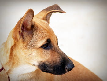 Can shock collars cause heart problems in dogs? - A sad dog