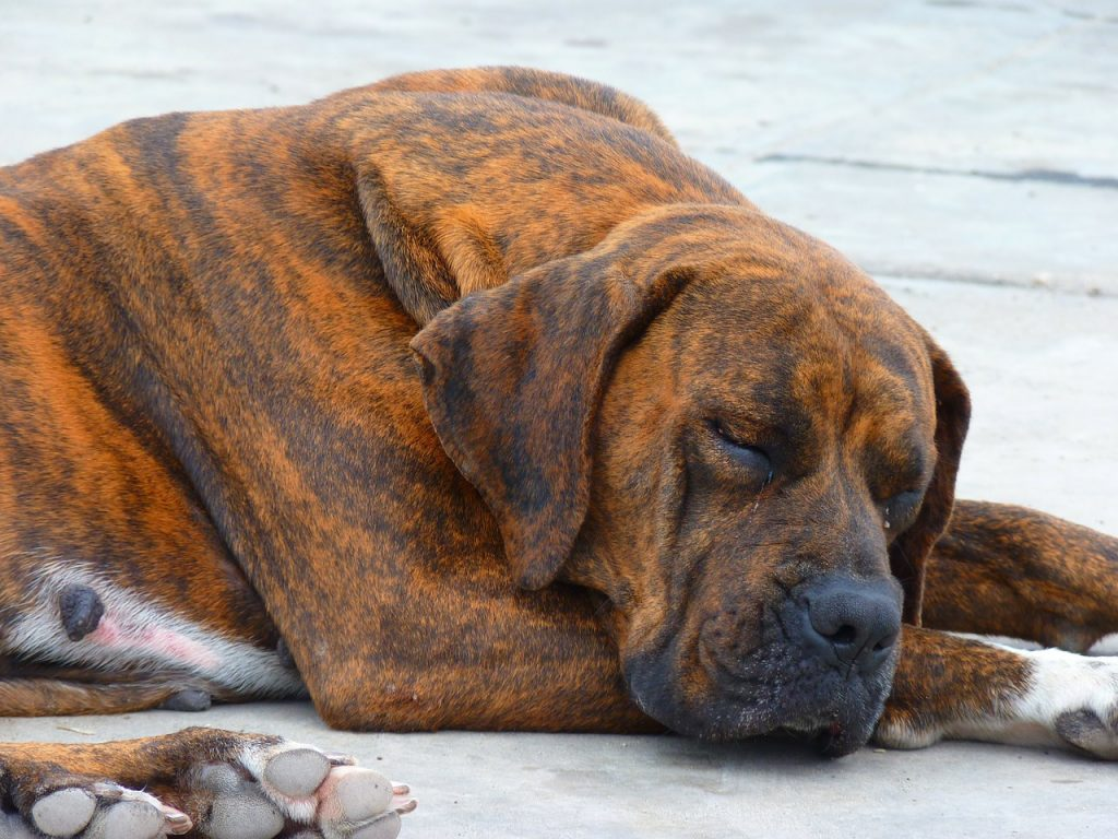 larger dogs die younger