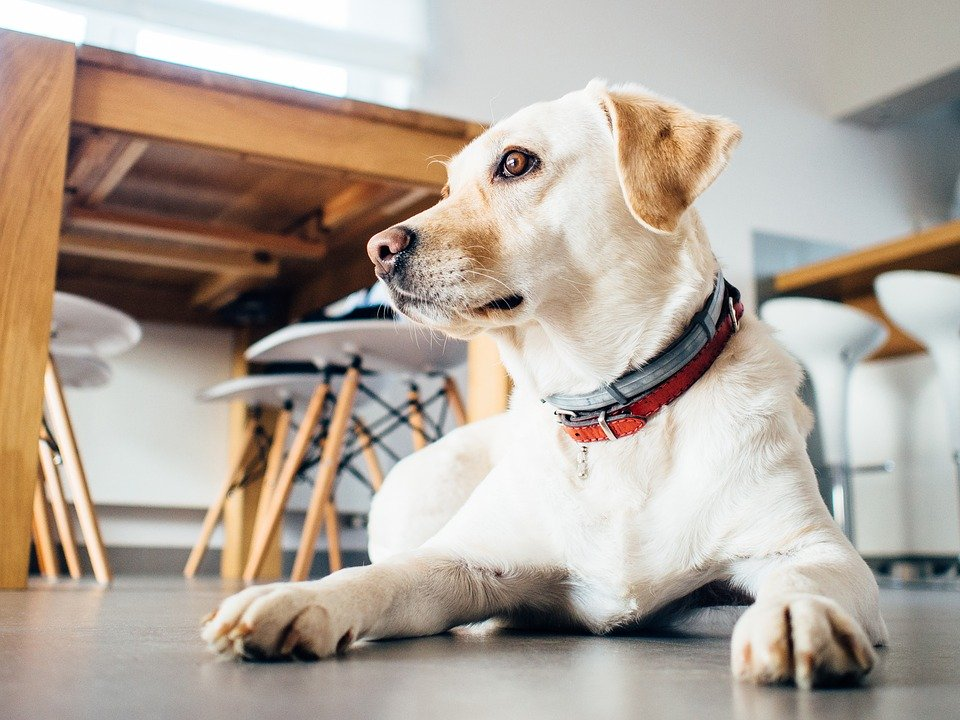 Can shock collars cause heart problems in dogs? - A dog sitting down
