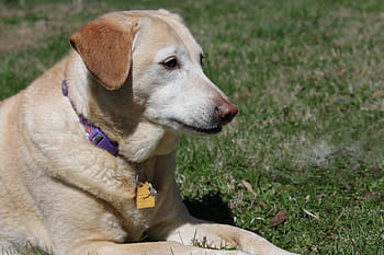Can shock collars cause heart problems in dogs?