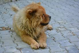 What Do Dog Sleeping Positions Mean- A dog sleeping in the lion sleeping pose