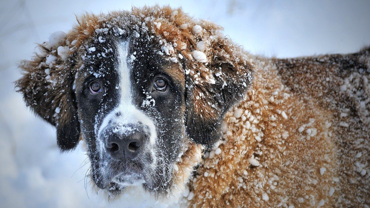 How Cold is Too Cold for Dogs and How to Keep Them Warm?  