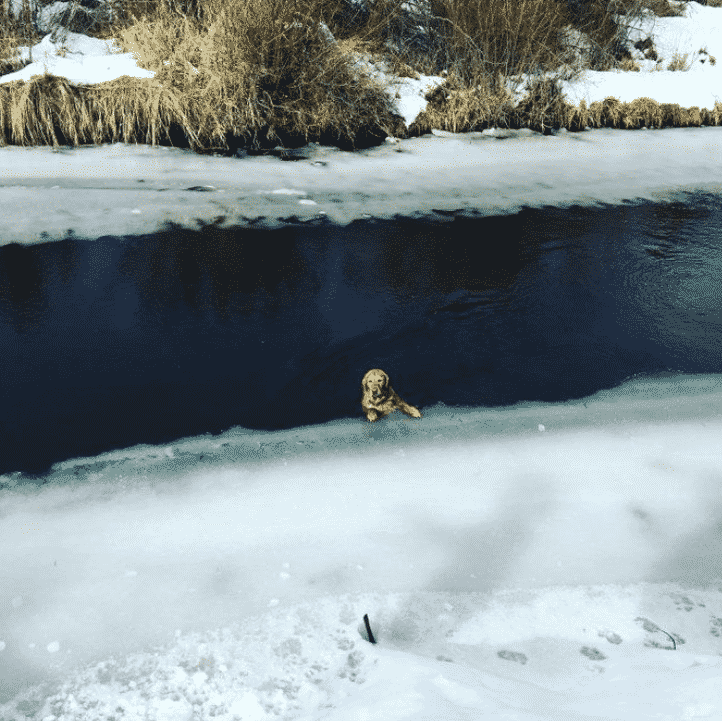 Golden Retriever Found Drowning in Icy Oregon River