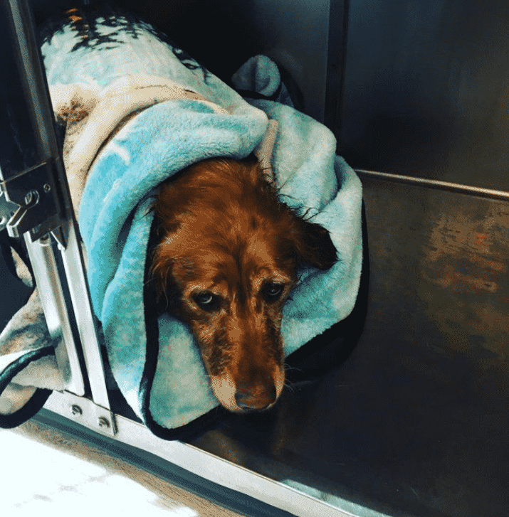 Golden Retriever Discovered Drowning in Icy Oregon River |