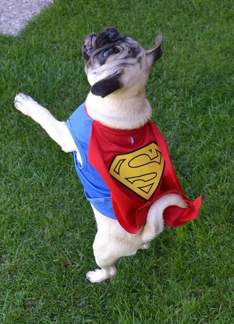 A dog dressed in a superman costume