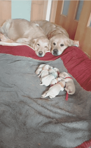 """Tik Tok Video of Golden Retriever and Her Puppies is """"Too Darn Cute for Mere Mortals Like Us"""" 