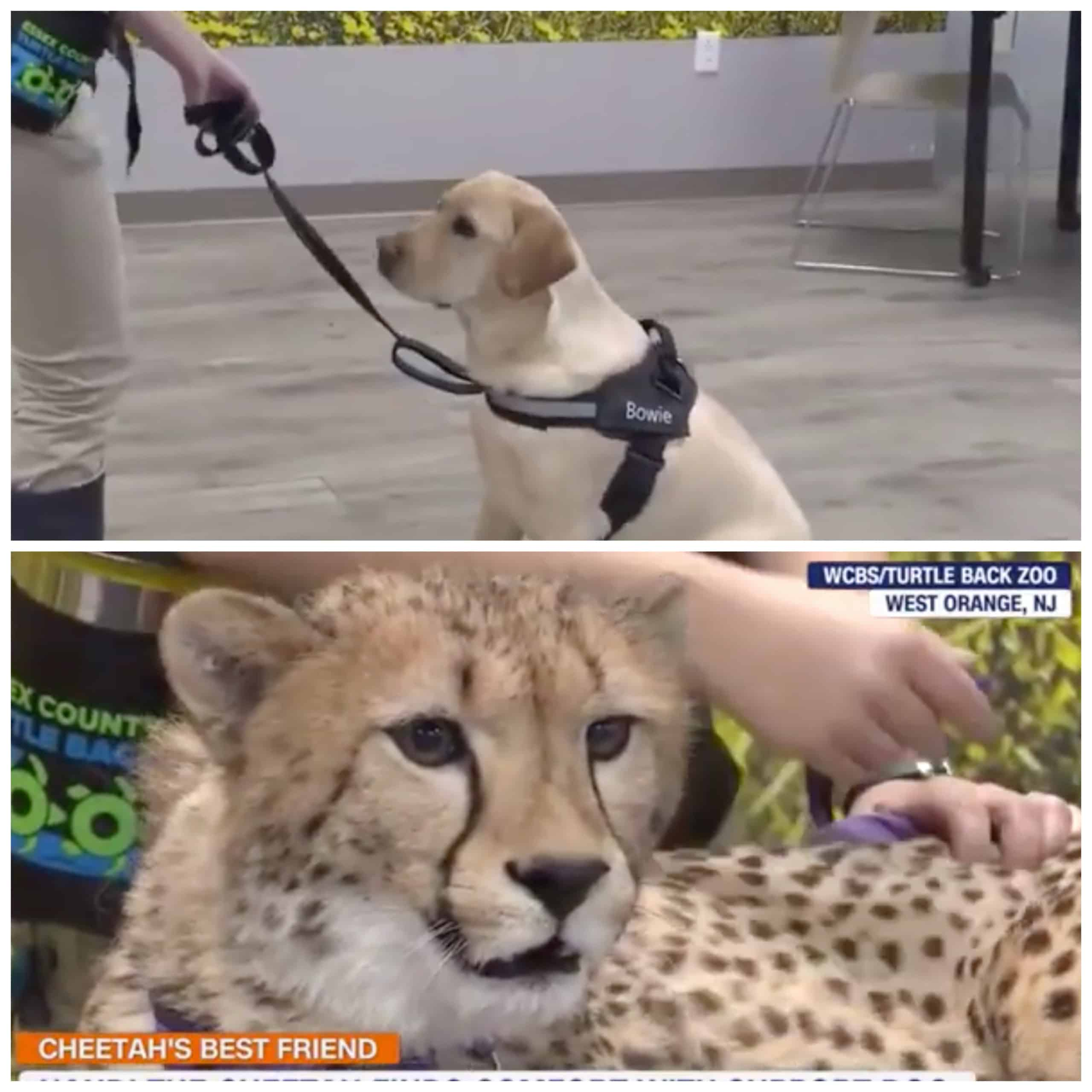 A Cheetah From a Zoo in New Jersey Has a Golden Retriever Pet! |