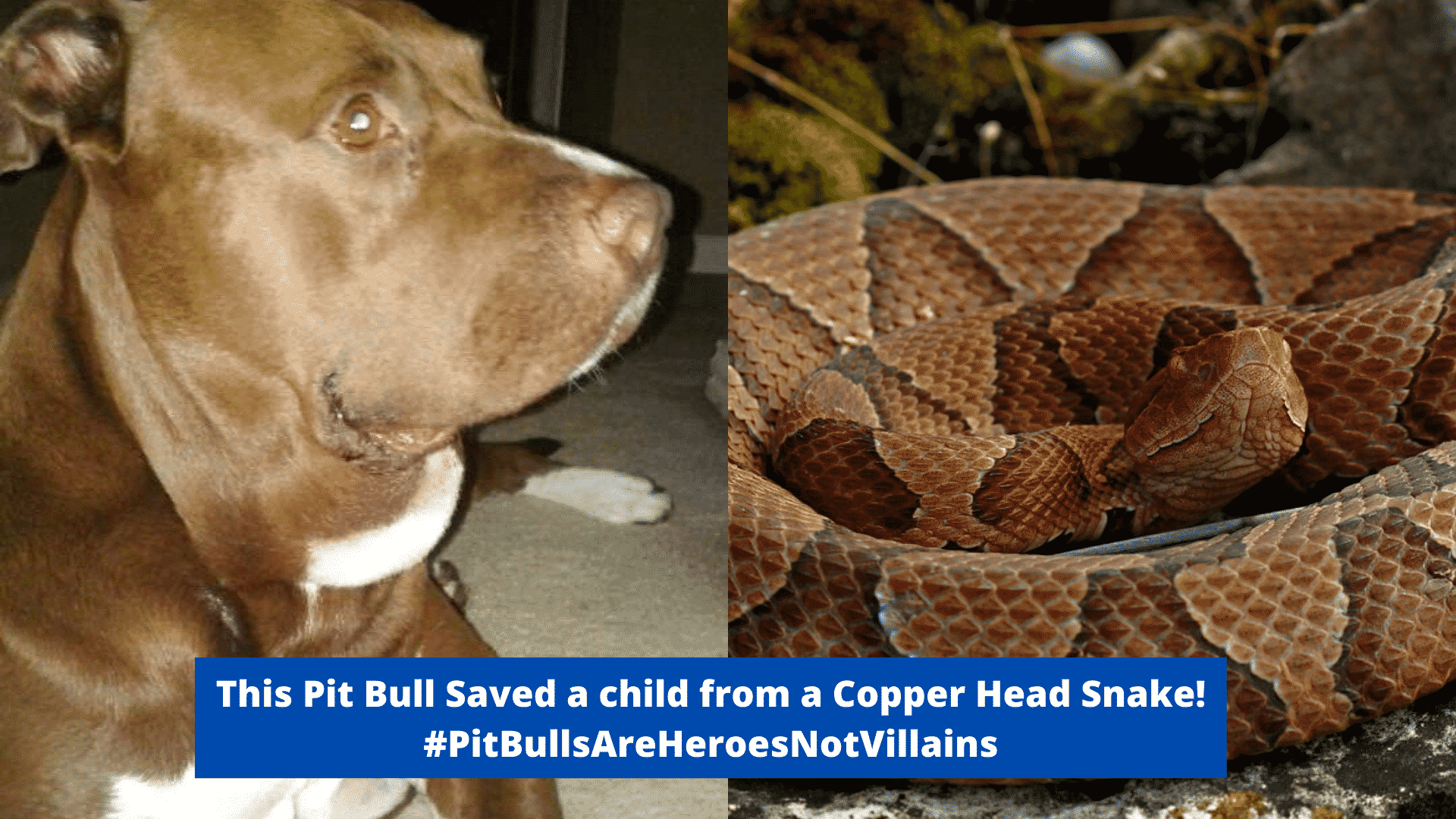Hurley, the Heroic Pit Bull, Fought Off A Snake Who Was  Attacking a Baby! |