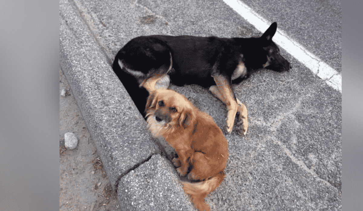Dog Refuses to Leave Pregnant Friend's Side Until Help Arrives |