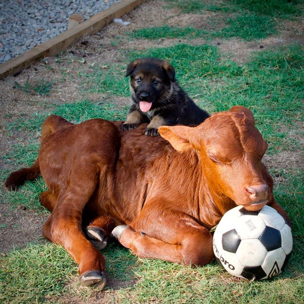 An Orphaned Calf Acts Like A Dog After Being Around German Shepherds |