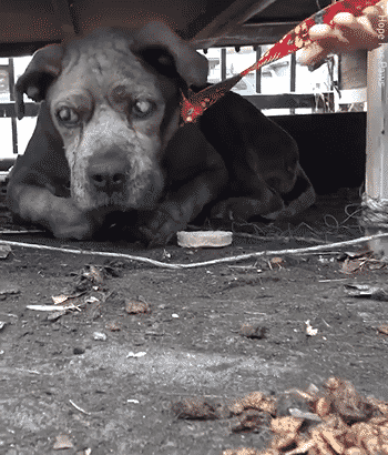 Blind Senior and Dehydrated Dog is Left All Alone Tied in A Junkyard |