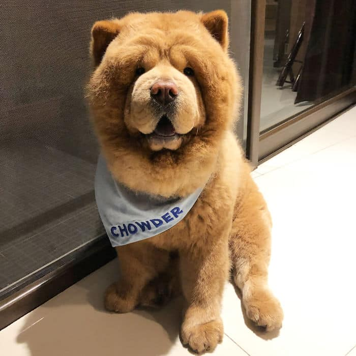 Adorable Pictures of a Chow Chow Dog Who looks Like A Bear |