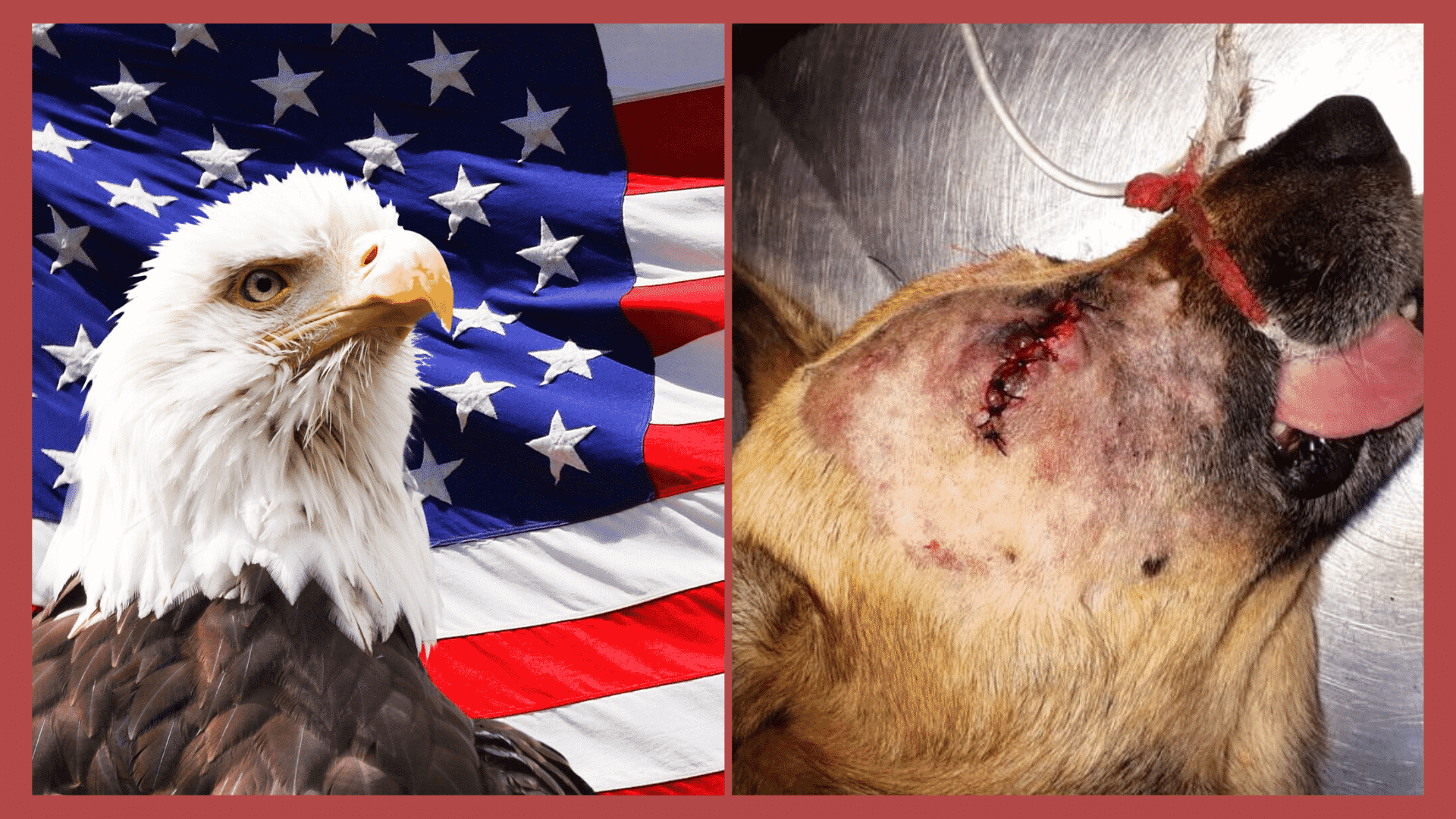 Why America Won't Have a Pet Massacre, Unlike China, the UK, and Other Countries!