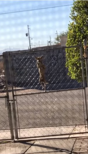 Video Captures Smart Dog Showing His Escape Artist Side As He Scales Gate |