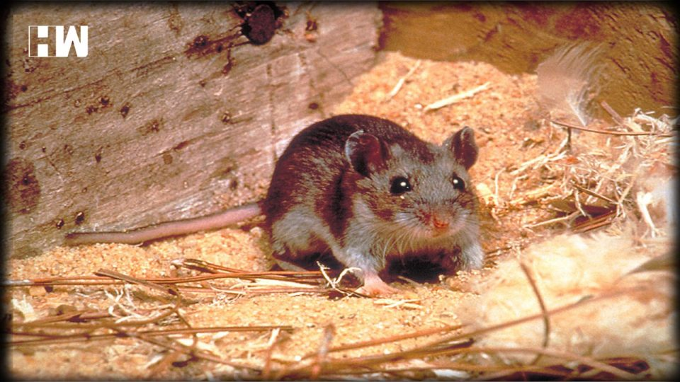 A Deadly, Coronavirus Like Disease Has emerged in China- Hantavirus Has killed 1 Person, and Infected 32 People! |