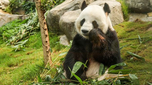 2 Pandas Make Love for the 1st Time in a Decade Thanks to COVID-19! |