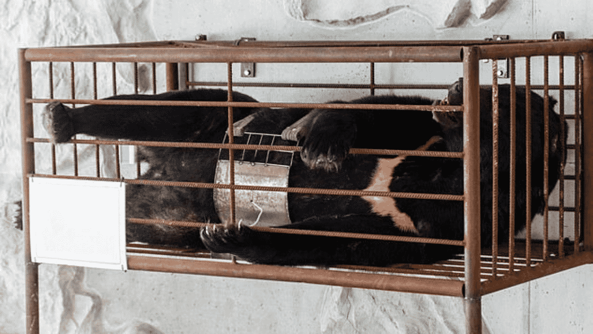 Thousands of Bears Are Suffering Due to China's Bear Bile Industry That is Flourishing Despite Pandemic Risks |