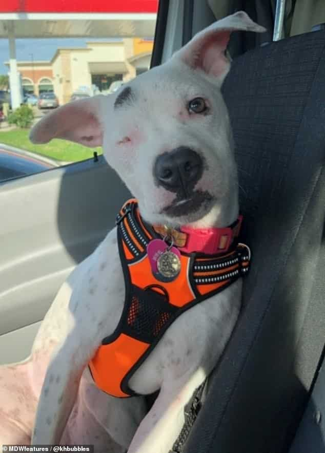 Abused Bull Terrier mix