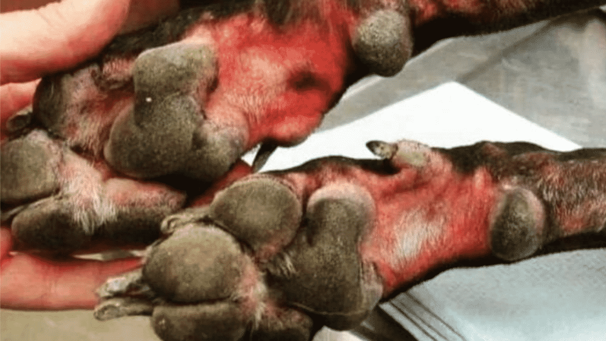 Pet Owner Burns His Dog's Paws With Bleach Due to Coronavirus Panic! |