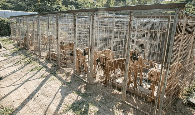 More Than 100 Dogs Were Destined To Die In A Dog Meat Farm, Till Those Angels Arrived… |