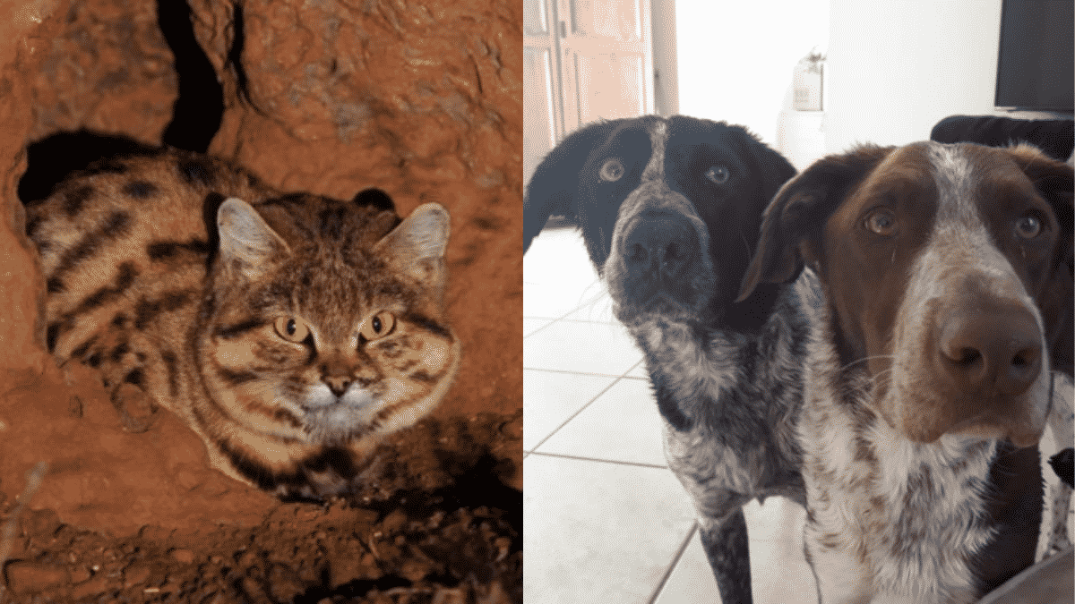 """Four Formerly """"Aggressive""""  Dogs Are on The Search For Saving The World's Deadliest Cat 