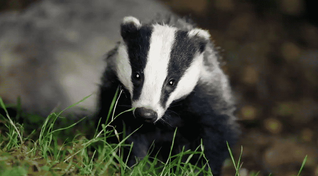 Badger Holocaust: When Will We Stop Murdering Animals for Our Convenience?  